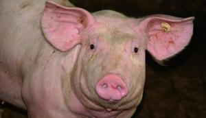 Schwein, Nahaufnahme vom Schädel
